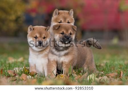 Three nice puppies - shiba-inu - stock photo