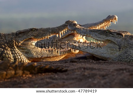 Three nile Crocodiles lying in the sun with mouths open - stock photo