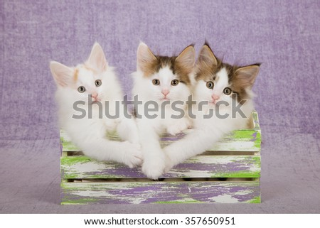 Three Norwegian Forest Cat kittens sitting inside slatted wooden box on light purple background