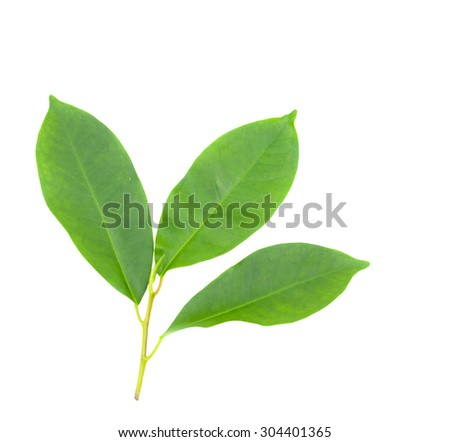 Three of tree leaves isolated on white background