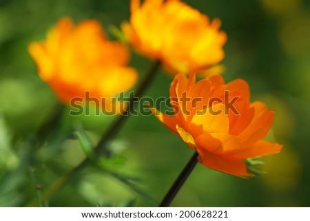 Three orange flower in the garden. Close up.                                    - stock photo