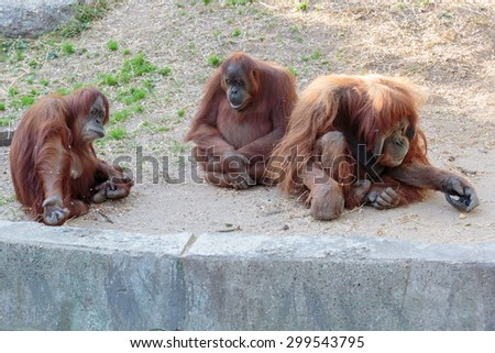 Three orangutan, a male and two females sitting in expressive poses - stock photo
