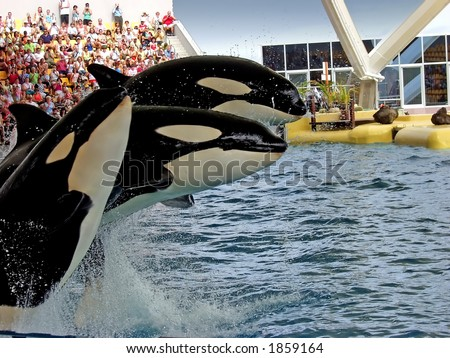 Three orca whales in the seaworld - stock photo