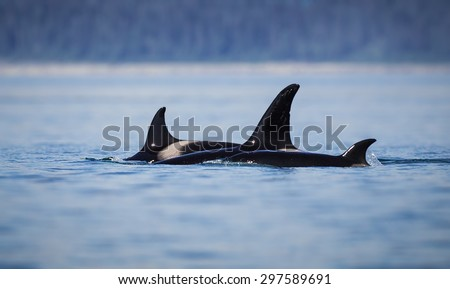 Three orcas seen near Marble Islands  in Glacier Bay - stock photo