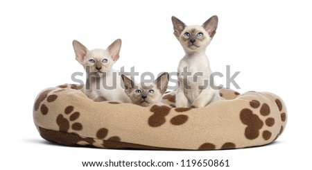 Three Oriental Shorthair kittens, 9 weeks old, sitting in cat bed against white background - stock photo