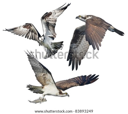 Three Ospreys in flight, isolated on white. Latin name - Pandion haliaetus. - stock photo