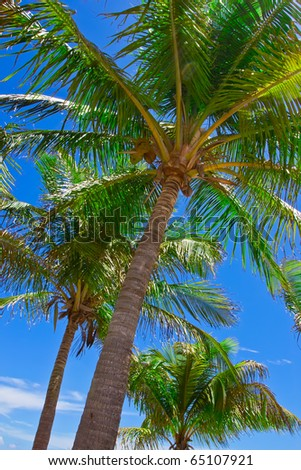 three palm trees against blue sky in Miami's Crandon Park Beach - stock photo