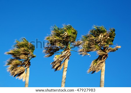 Three palm trees blowing in the wind on a clear day. - stock photo