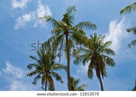 three palms against the sky, Phuket, Thailand - stock photo