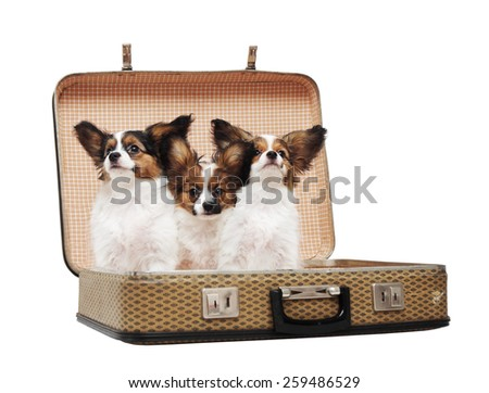 three Papillon puppies in the suitcase, isolated on white background