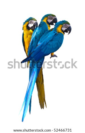 three parrot bird in white isolated background