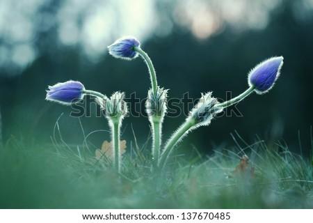 Three Pasque Wild Flower buds in springtime - stock photo