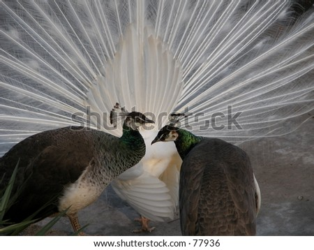 Three peacocks, one with spreaded tail - stock photo