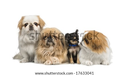 three Pekingeses and one chihuahua in a row in front of a white background
