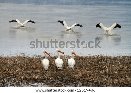 Three pelicans standing, three flying - stock photo