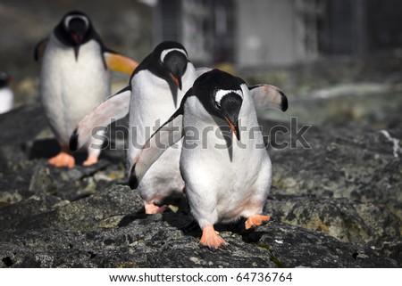 Three penguins running over the rocks in Antarctica - stock photo