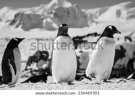 Three penguins standing, mountains in the background - stock photo