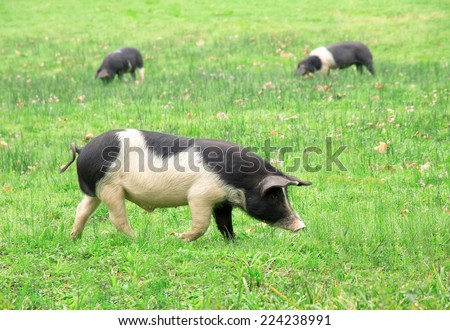 three pigs grazing in the field in the Basque Country, Spain, Europe ...