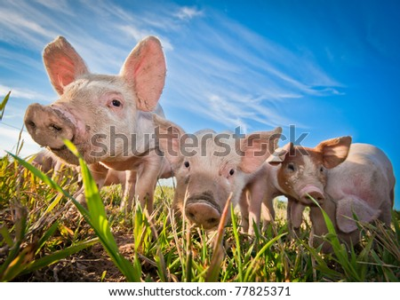 Three pigs on a pigfarm in Dalarna, Sweden - stock photo