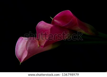 Three pink arum lily on black background with soft light - stock photo