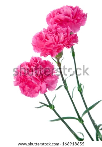 three pink carnations