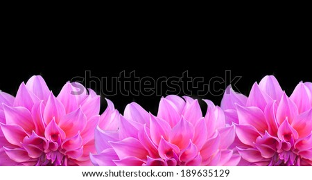 Three pink dahlia flower on a black background. - stock photo