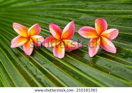 Three Pink frangipani and wet palm leaf texture - stock photo