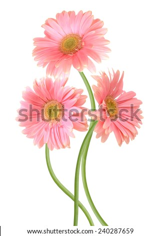 three pink Gerber flowers, daisies isolated on white  - stock photo