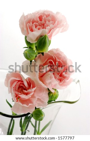 Three pink mini Carnations in a glass vase - stock photo