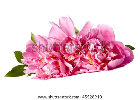Three pink peonies with drops of water on a white background - stock photo