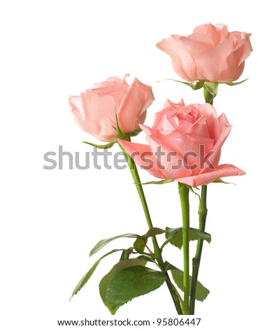 three pink  roses isolated on white - stock photo