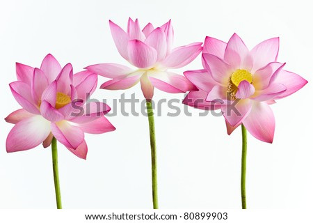 Three pink water lily flower (lotus) and white background. The lotus flower (water lily) is national flower for India. Lotus flower is a important symbol in Asian culture. - stock photo