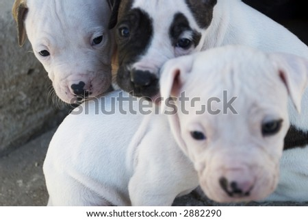 Three pitbull puppies. Focus on the left one. Shallow depth of field