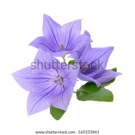Three Platycodon grandiflorus flowers isolated on white background  - stock photo