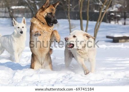Three playing dogs in winter - stock photo