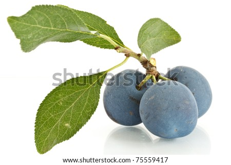 three plums on a branch with leaves and isolated white background