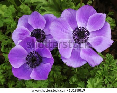 Three Poppies - stock photo