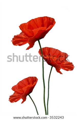 Three poppies against white background - stock photo