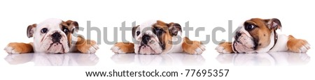 three poses of an english bulldog puppy on white background - stock photo