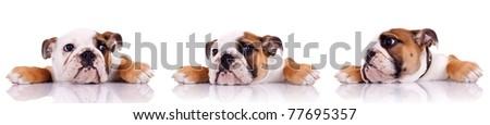 three poses of an english bulldog puppy on white background - stock photo