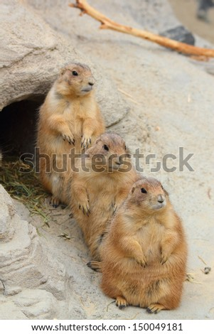 three prairie dogs at a rock - stock photo