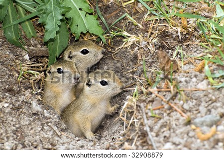 Three prairie dogs peeking out of their hole in the ground - stock photo