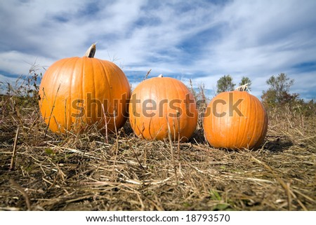 Three pumpkins in farm patch with blue sky in background.