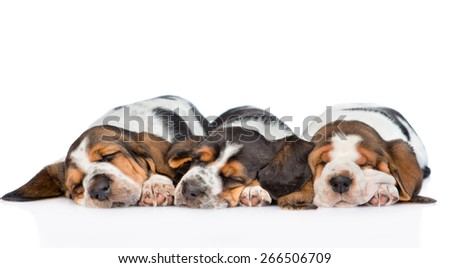 three puppies  basset hound sleeping side by side. isolated on white background  - stock photo