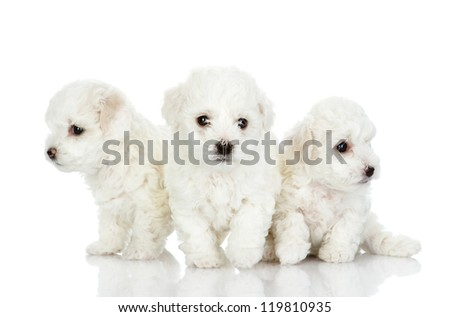 three puppies of a lap dog. isolated on white background - stock photo