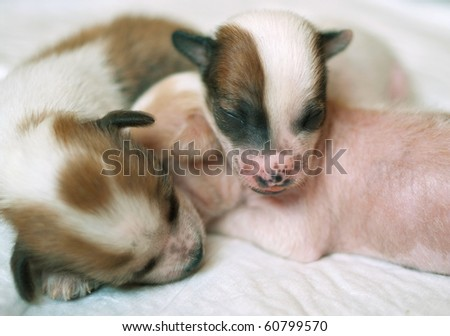 Three puppies of breed the Chinese crested dog on light background. Shallow DOF - stock photo