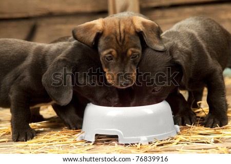 Three puppies of dachshund near bowl with milk - stock photo
