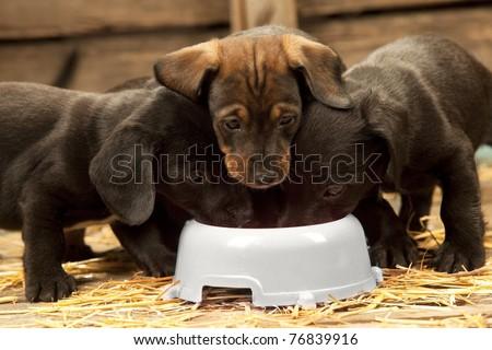 Three puppies of dachshund near bowl with milk - stock photo