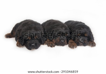 three Puppies Tibetan Mastiff - stock photo