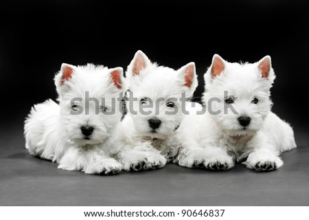 three puppies West HighlWest Highland White Terrier on black background - stock photo